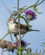 Common Whitethroat on the flower
