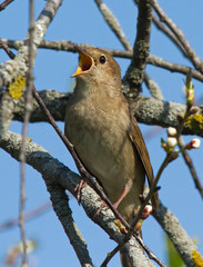 Singing Thrush Nightingale