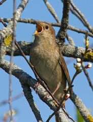 Singing Thrush Nightingale