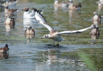 Young Black-headed Gulls