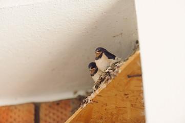 Cute Swallows