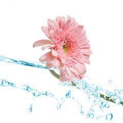 Pink gerbera splash
