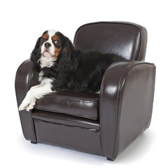 chien cavalier king charles tricolore
