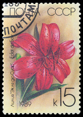 flower lilium