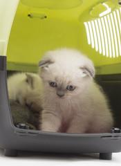 beautiful British lop-eared kitten in a box