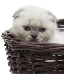 British lop-eared kitten in a wicker basket