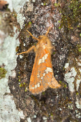 The Gold Swift, Phymatopus hecta, Hepialidae on wood
