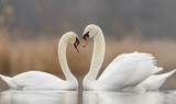 Two swans in love and nice blurred background - Fine Art prints