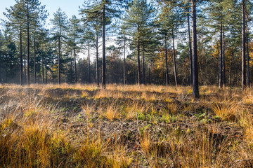 Pine trees after disappearance of the morning mist