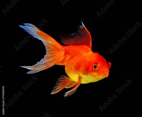 goldfish isolated on black background - 74540343