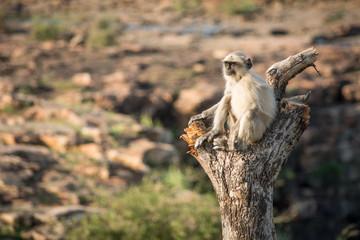 Blace faced monkey, grey langur