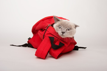 Beige cat in a red bag, on white background