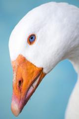 testa di oca bianca su sfondo blu