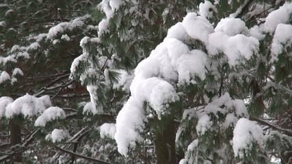 Christmas tree branches shaking, crumbling snow