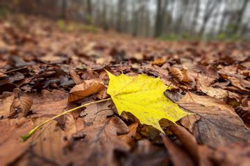 Herbst - Ahornblatt