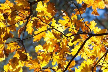 Oak leaves on the branches in the autumn forest. Golden autumn.