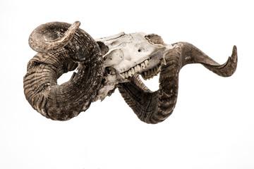 Rum skull