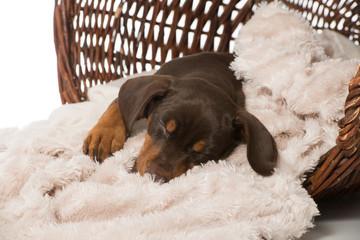 Schlafender Welpe