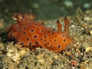 Spotted orange sea slug