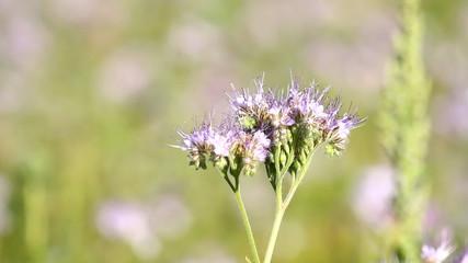 Bee Pollinate on the phacelia flower