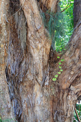 Tree bark with ivy in close-up