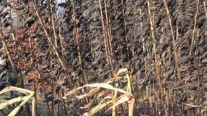 dry autumn Jerusalem artichoke plant in wind