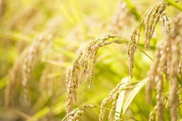 もち米の稲穂