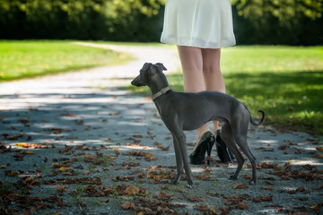 Legs of the girl  with greyhound in the park