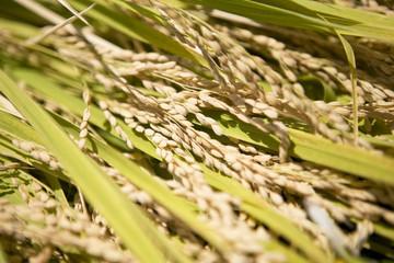 収穫された稲穂