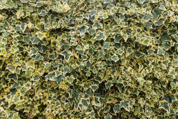 Algerian ivy leaves