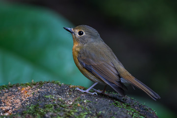 Close up of lovely Hill Blue Flycatcher (Cyornis banyumas)