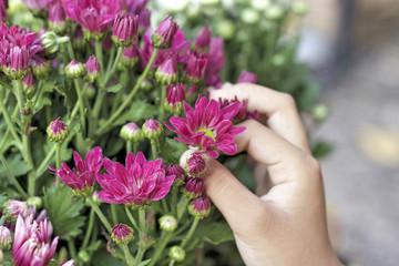 close up of beautyful chrysanthemum
