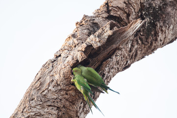 Two green parakeets perched on an old tree trunk in Sri Lanka