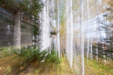 White birch forest zoom blur abstract.