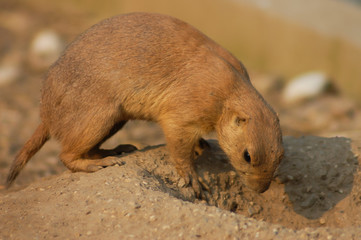 A Black-tailed prairie dog