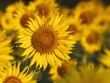 close up of yellow sunflowers blooming in field with beautiful l
