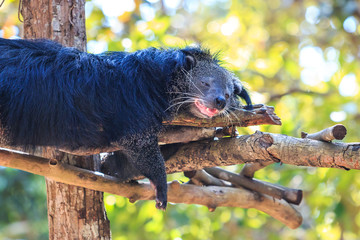 Close-up of Binturong, Bearcat (Arctictis binturong) in the zoo
