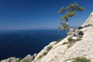 Pine on rock