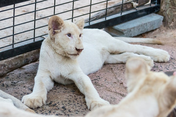 White lion baby in the zoo