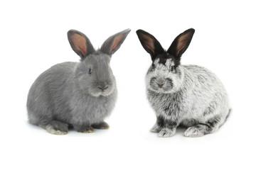 two gray rabbit