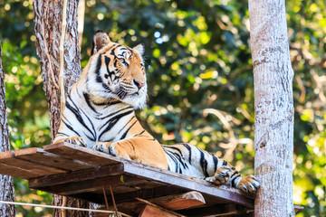 Bengal tiger (Panthera tigris tigris) in the zoo