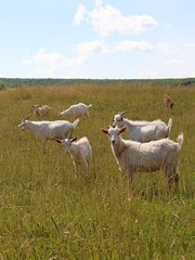 белые козы пасутся на пастбище