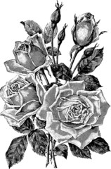 Vintage graphic flower rose