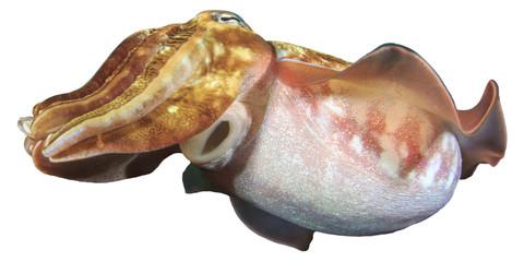 Cuttlefish isolated on white background