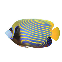 Tropical fish isolated on white: Emperor Angelfish