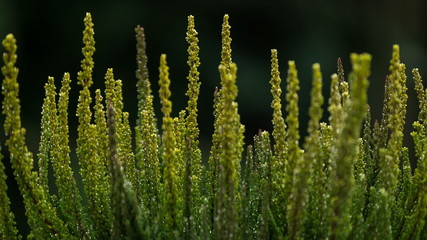 Macro shot of a common heather (Calluna vulgaris) shrub