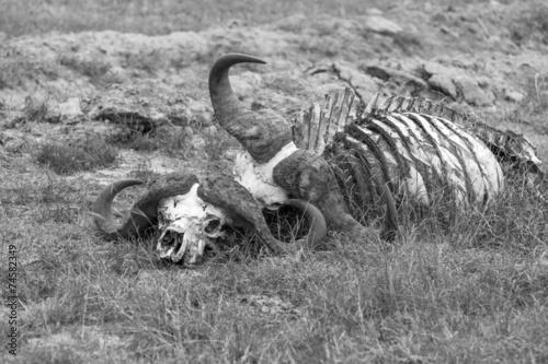 Keuken foto achterwand Buffel Buffalo Skull in Savannah, Southern Africa