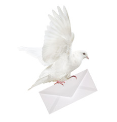 isolated white dove carrying envelope