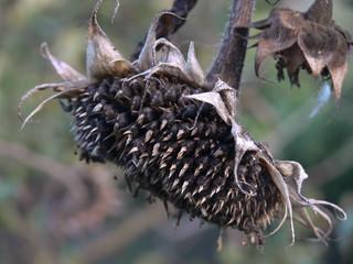 semi di girasole (Helianthus annuus)