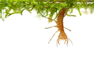 Diving beetle larva (water tiger) among water plants